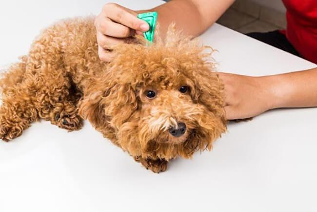 Chó bị cảm lạnh uống thuốc gì?