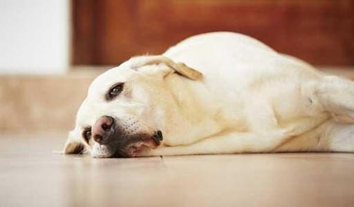 Chó biếng ăn do vấn đề về bệnh lý
