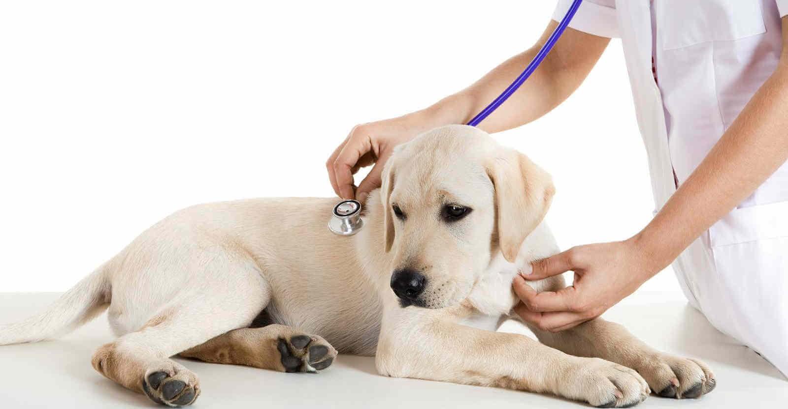 Đưa chó tới các bác sĩ thú y để trị tình trạng biếng ăn.