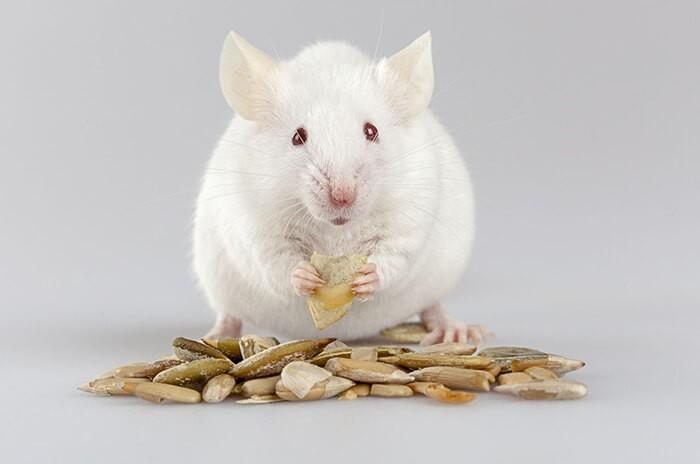 Chuột bạch ăn gì? Chúng ăn các loại hạt
