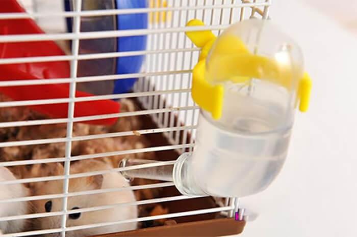Cho chuột bạch uống nước