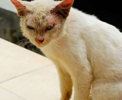 Mèo bị ghẻ bôi thuốc gì nhanh khỏi?