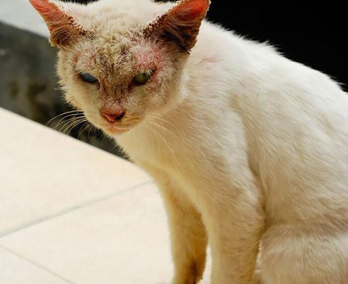 Mặt mèo bị ghẻ gây mất thẩm mỹ