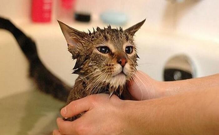 Mèo tắm xong lông chưa được sấy khô sẽ khiến mèo bị ghẻ