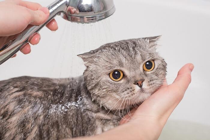 Tắm cho mèo đúng cách khi mèo bị ghẻ