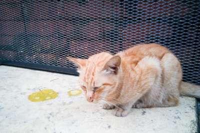 Cách chữa mèo bị tiêu chảy tại nhà hiệu quả nên áp dụng