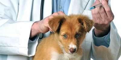Lịch tiêm phòng cho chó chuẩn nhất từ các chuyên gia
