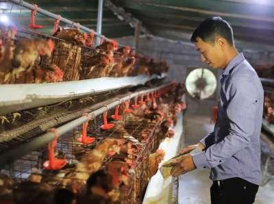Lưu ngay kỹ thuật nuôi gà đẻ trứng nhiều được chuyên gia chia sẻ