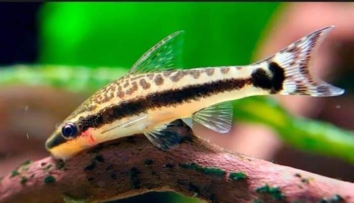 Cá dọn bể thường ăn các loại thức ăn thải của các loại cá cảnh khác