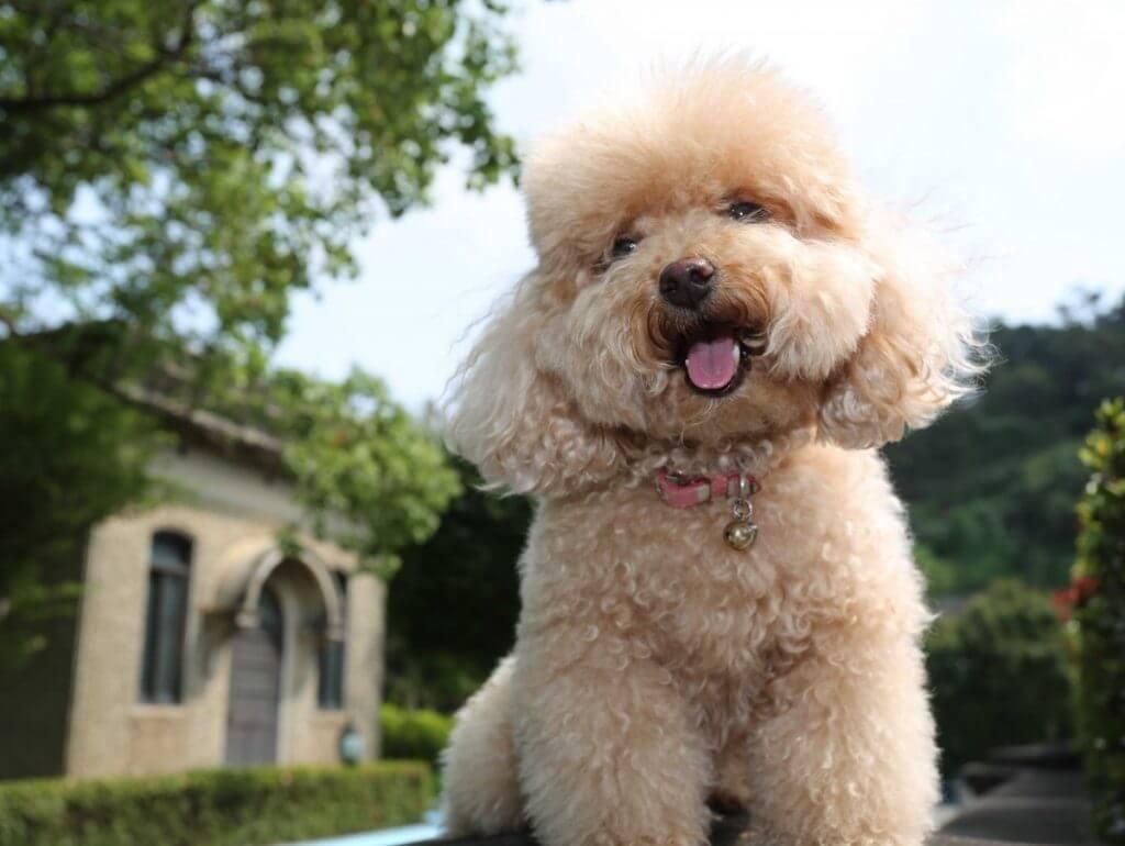 Chó Poodle -Thông minh, lanh lợi, hiền lành, vô cùng dễ chăm
