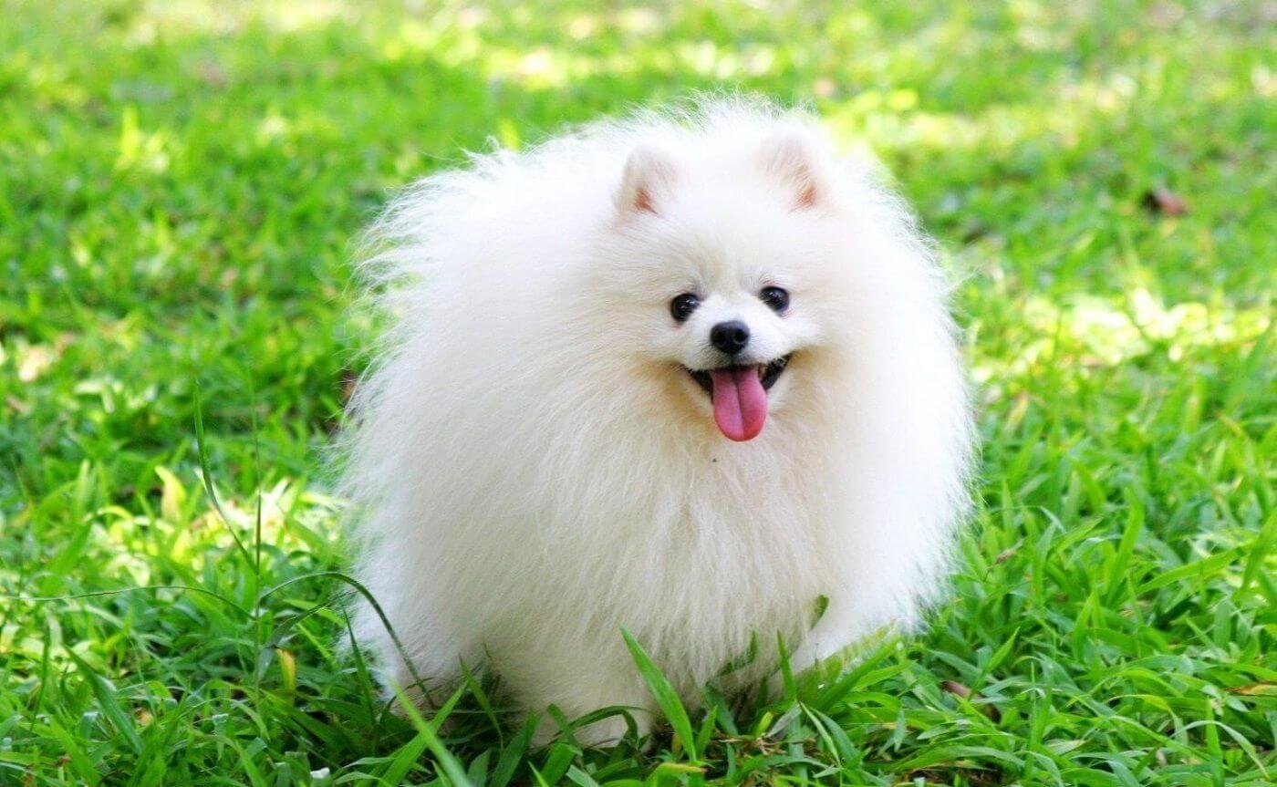 Chó Phốc Sóc -Loại chó cảnh nhỏ rất được ưa chuộng hiện nay