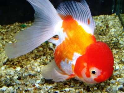 Cách nuôi cá ba đuôi không cần oxy hiệu quả và dễ dàng thực hiện