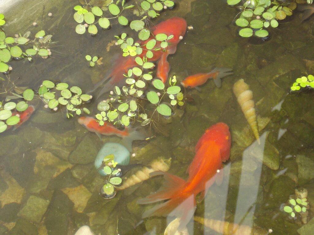 Không nên nuôi chung cá ba đuôi với nhiều loại cá khác