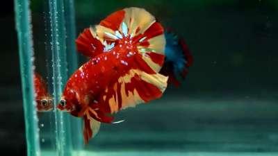 Cách nuôi cá betta lên màu đẹp, sinh sản tốt rất nhiều người áp dụng