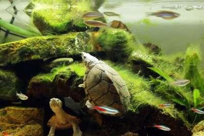 Cách nuôi rùa cảnh phát triển tốt dành cho người mới bắt đầu