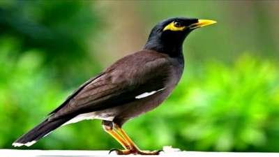 Chim sáo ăn gì để hót hay, phát triển tốt? Những điều cần lưu ý