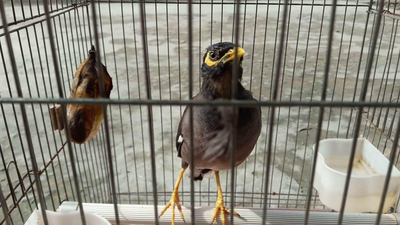Cho chim sáo ăn gì để phát triển tốt
