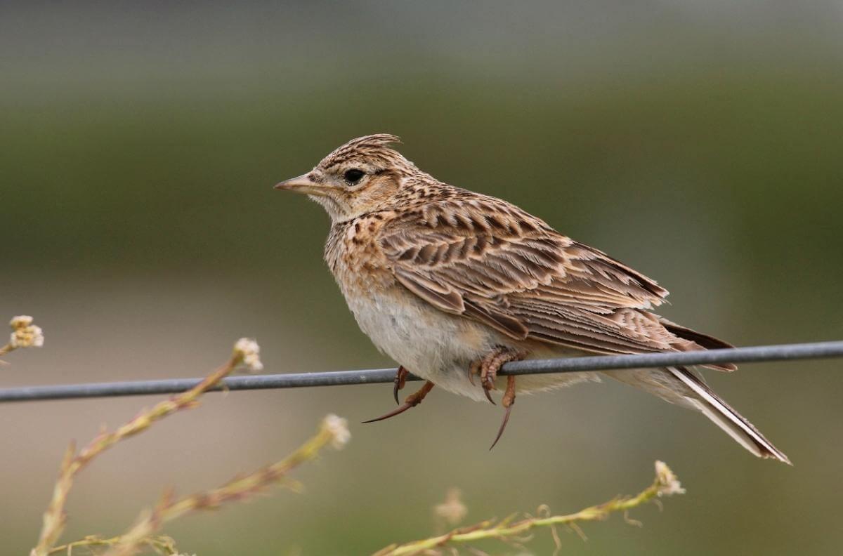 Những lưu ý để nuôi chim sơn ca phát triển tốt