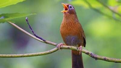 Chim sơn ca ăn gì để hót hay và phát triển tốt?
