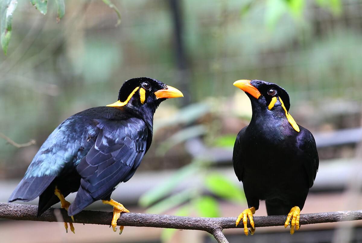 Chim Yểng biết nói sở hữu bộ lông màu đen xanh biếc rất bắt mắt