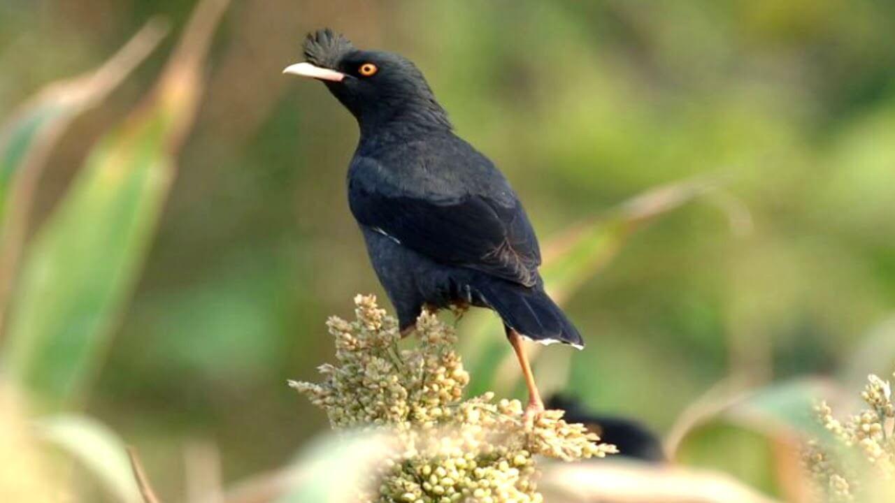 Cách huấn luyện để chim Yểng biết nói tiếng người nhanh nhất