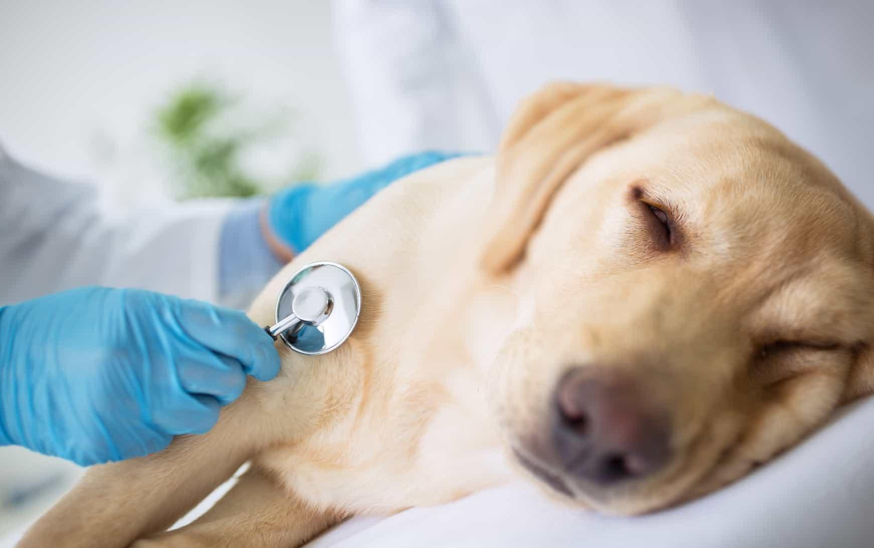 Nhữngcách chẩn đoán chó bị đau bụng tiêu chảy
