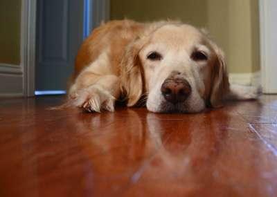 Chó bị stress có nguy hiểm không? Cần xử lý ra sao?