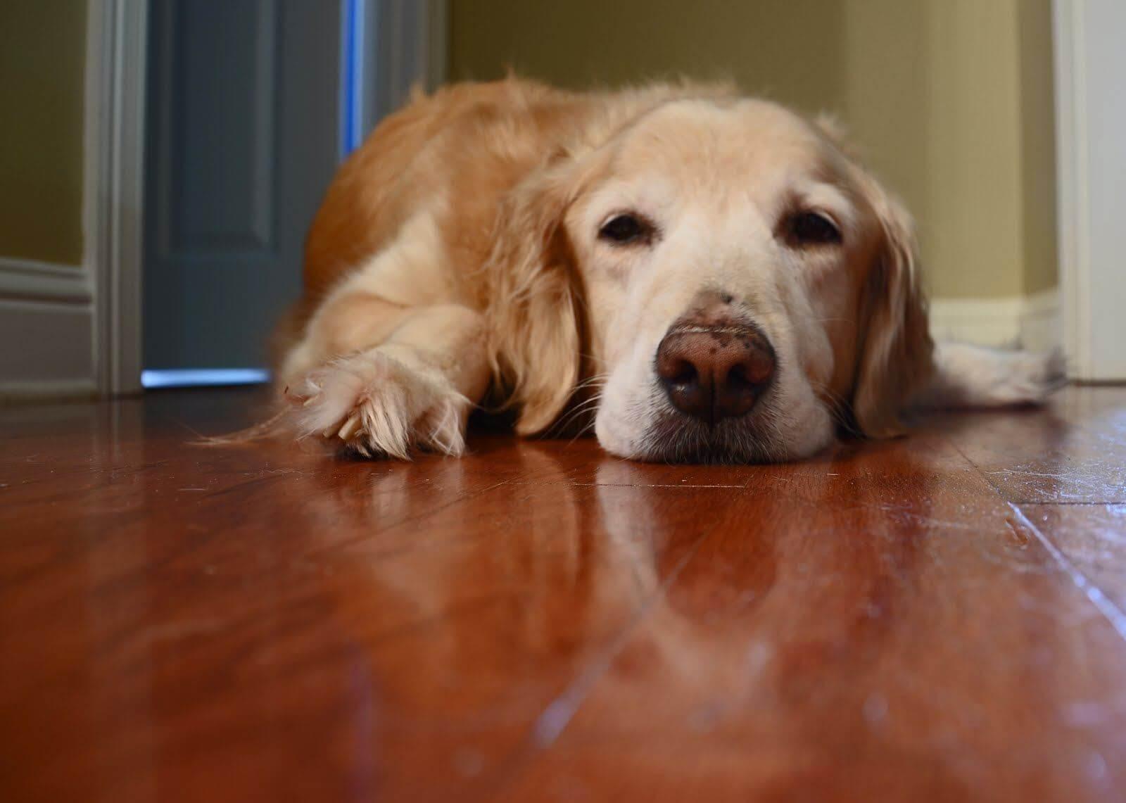 Chó bị stress ít vận động