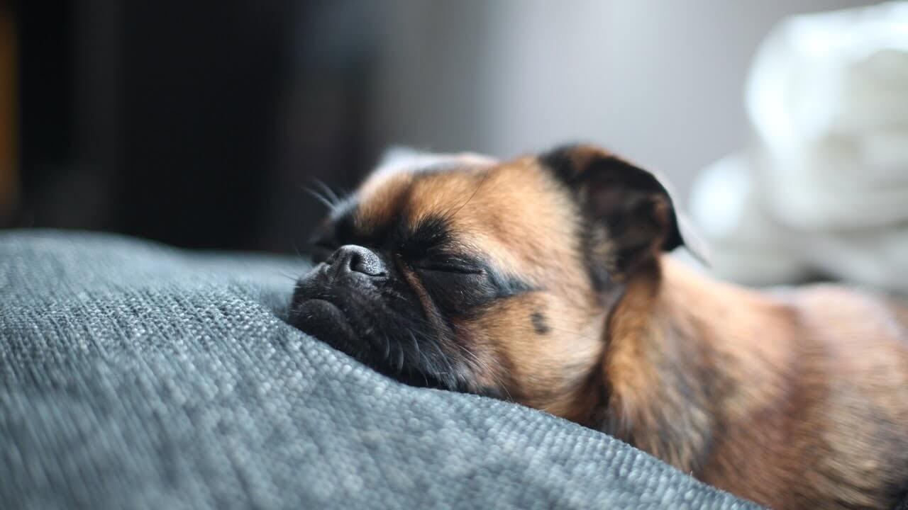 Giấc ngủ bị ảnh hưởng do chó bị stress