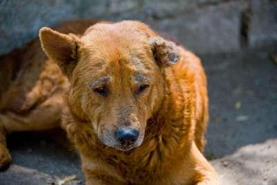 Cách trị chó bị xà mâu nặng theo chỉ dẫn của các chuyên gia