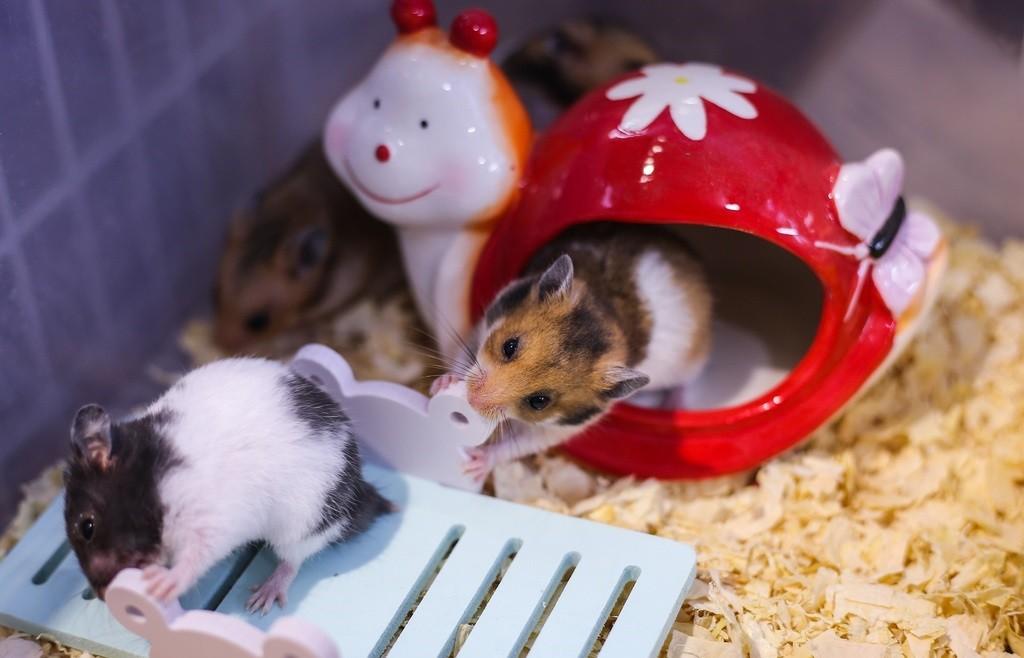 Giữ vệ sinh chuồn nuôi chuột sạch sẽ