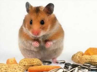 Chuột hamster thích ăn gì nhất? Và những thực phẩm cần tránh xa
