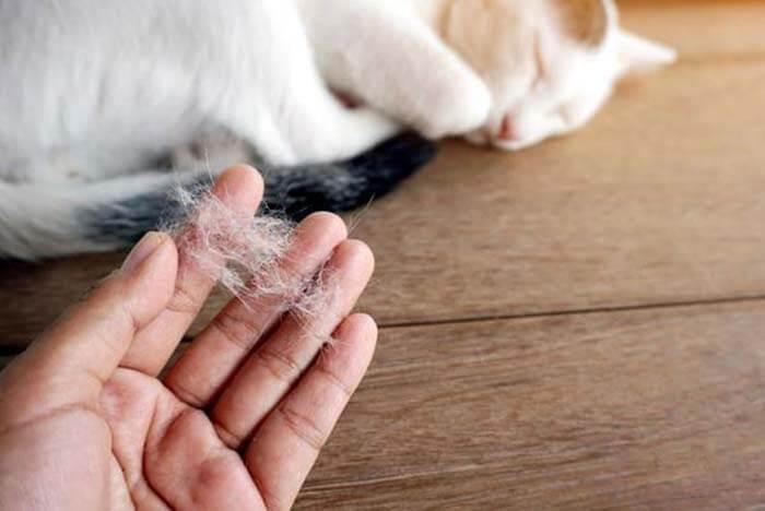 Có nhiều nguyên nhân khiến mèo bị rụng lông
