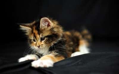 Mèo tam thể đực giá bao nhiêu? Vì sao mèo tam thể đực lại hiếm?