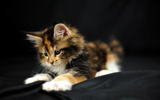 Mèo tam thể được xem như mèo quốc dân ở Maryland