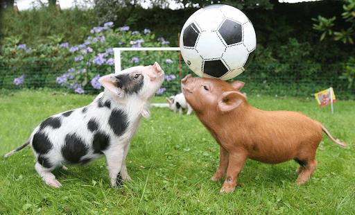 Lợn cảnhmini có lưng cong, máphính, lông khá dày