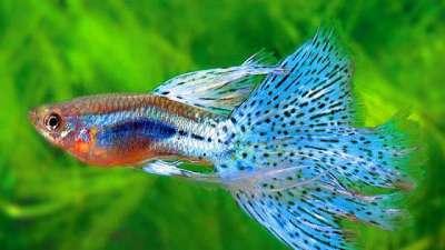 Cách nuôi cá bảy màu đẻ nhiều và phát triển tốt nên áp dụng