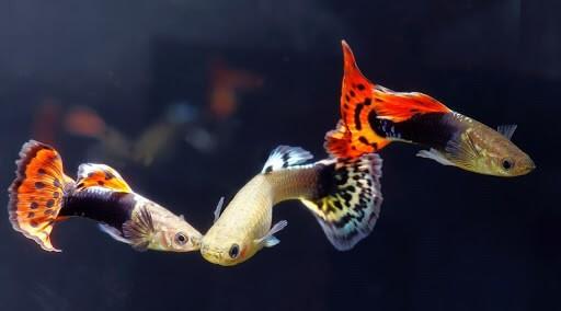 Cá bảy màu Nhật Bản