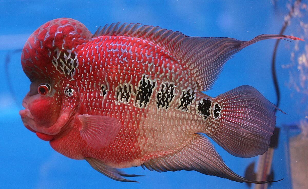 Điều kiện sống để cá la hán đầu lớn và có màu sắc đẹp