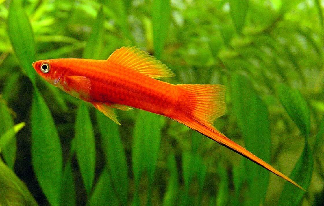 Cá đuôi kiếm - Một trong các loại cá cảnh đẹp, thu hút