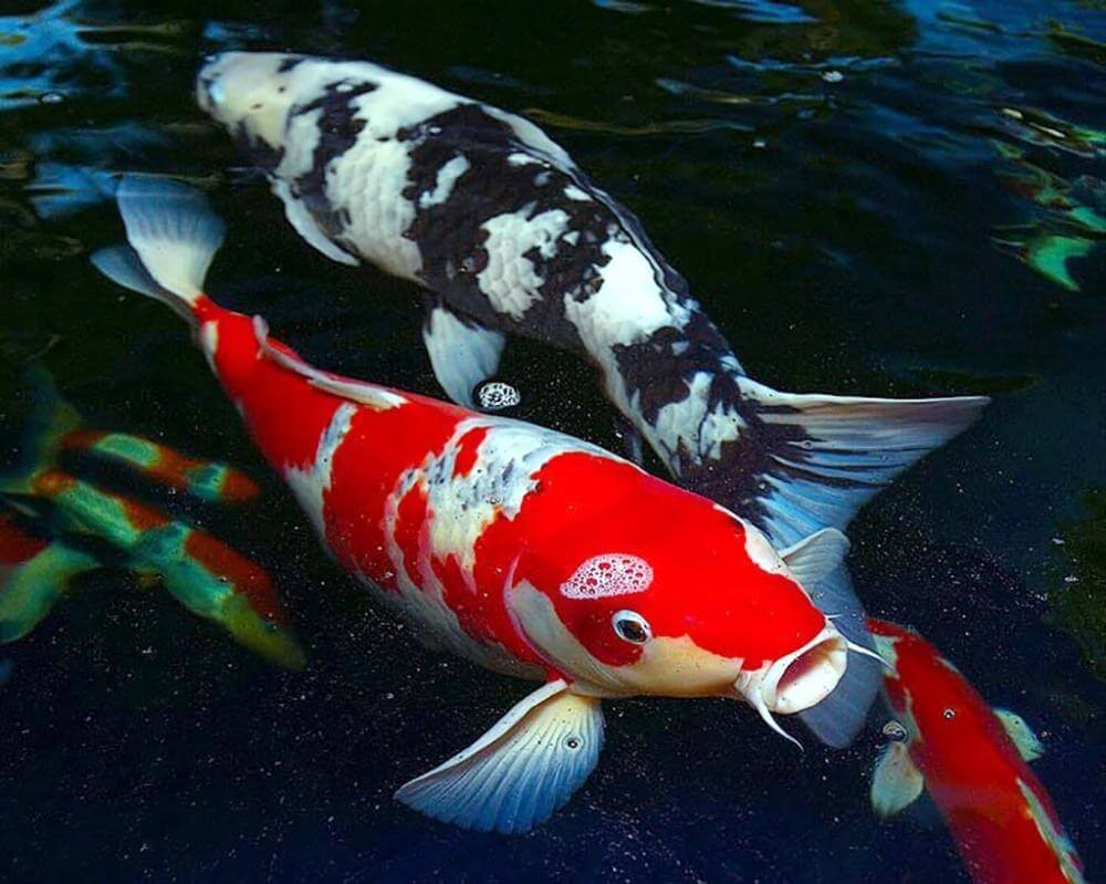 Đặc điểm về hình dáng và kích thước của cá koi