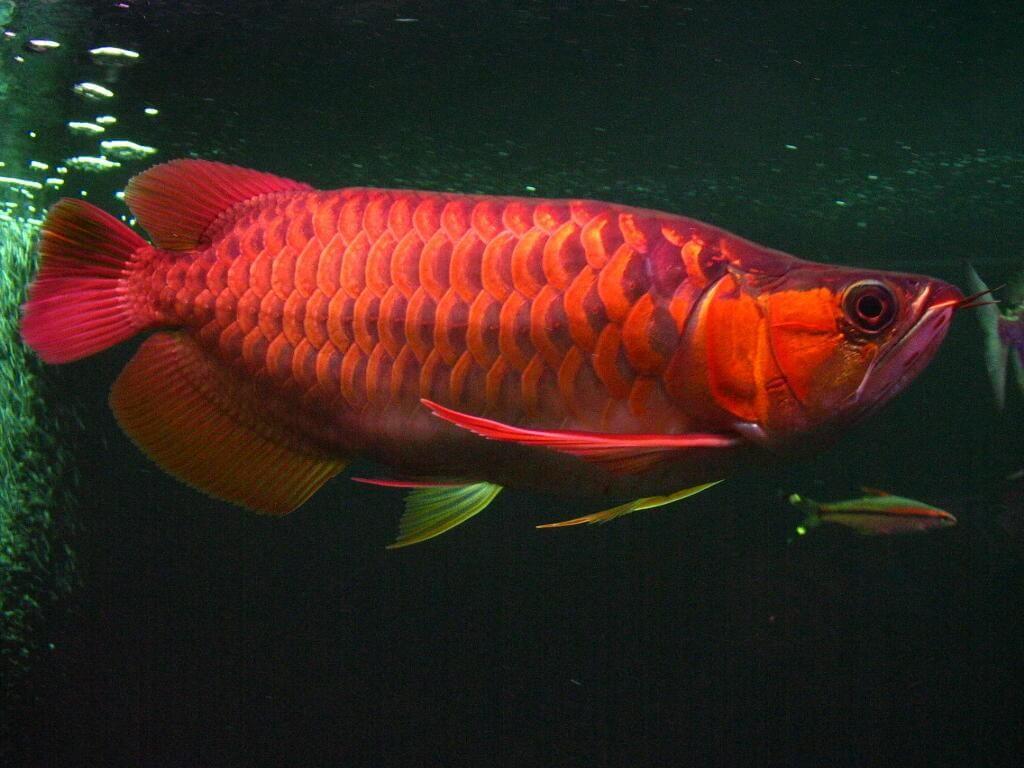 Cung cấp thức ăn đầy đủ để nuôi cá rồng phát triển tốt nhất