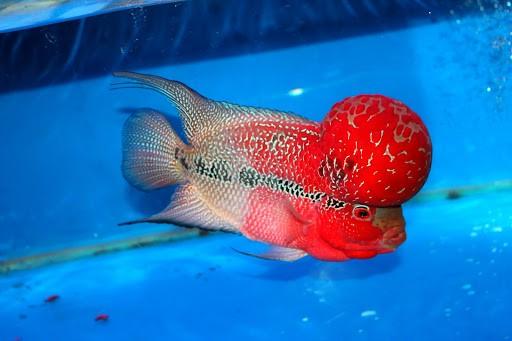 Đặc điểm nổi bật của cá la hán
