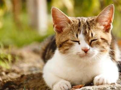Tại sao mèo tam thể đực lại hiếm và những thông tin thú vị về chúng