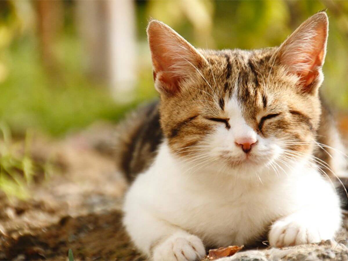 Đặc điểm nổi bật của mèo tam thể