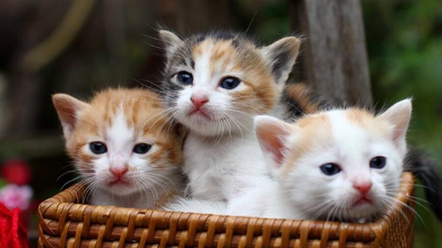 Mèo tam thể đực là linh vật may mắn
