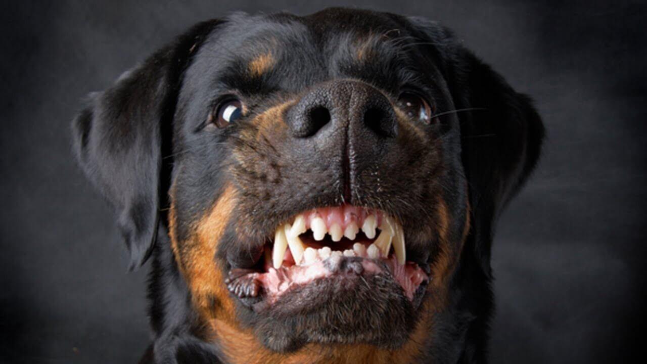 Cách xem tướng chó phản chủ