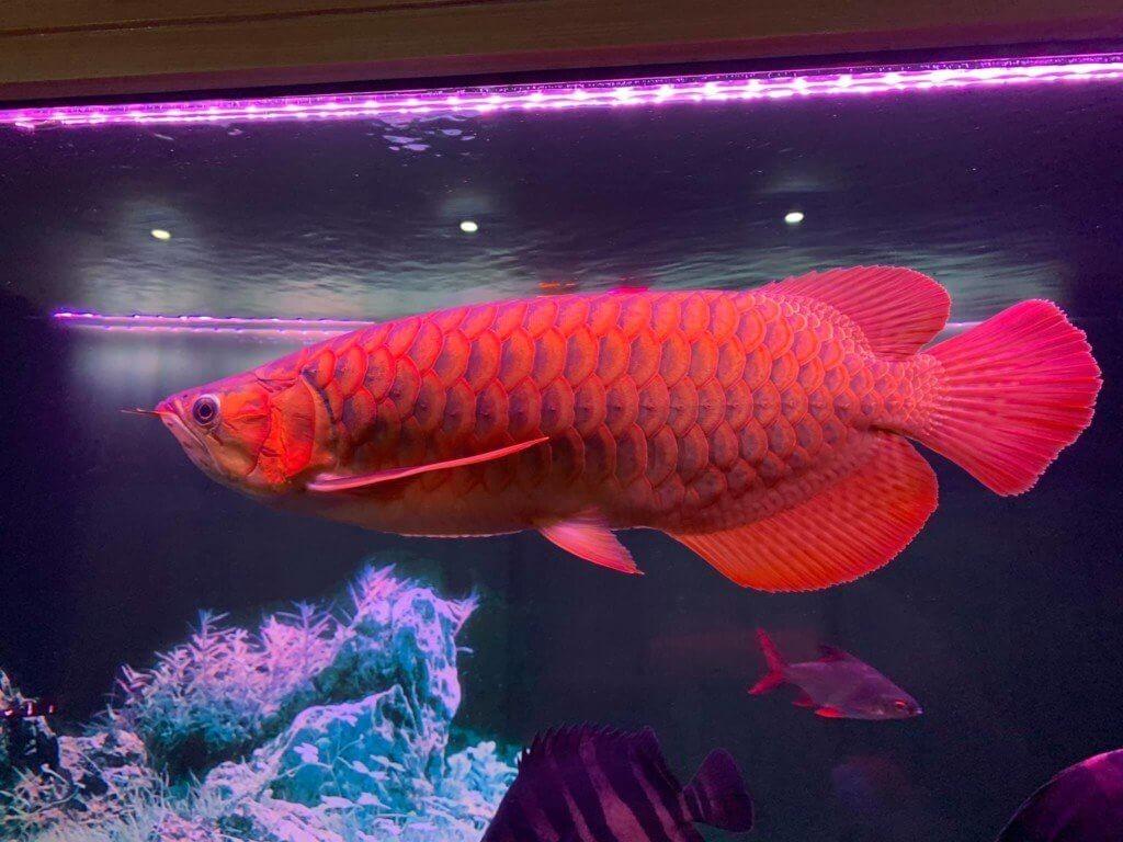 Cá Rồng - Cá cảnh nước ngọt đẹp và dễ nuôi