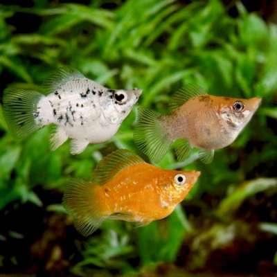 Tổng hợp các loại cá cảnh nước ngọt dễ nuôi và đẹp hiện nay