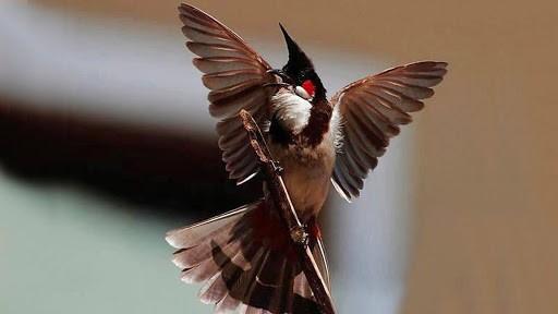 Những đặc tính nổi bật của chim chào mào